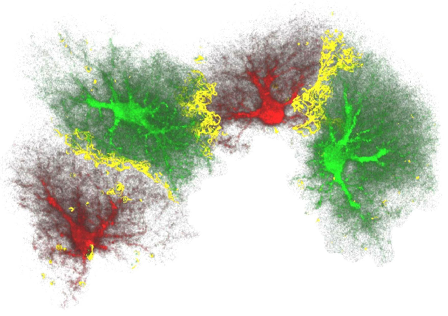 New insight into the generation of new neurons in the adult brain
