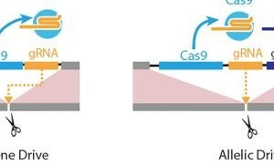 CRISPR-based 'allelic drive' allows genetic editing with selective precision and broad implications