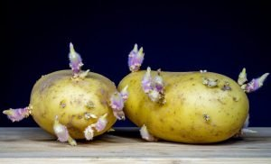 Green Points and shoots – Until when are potatoes healthy or toxic?