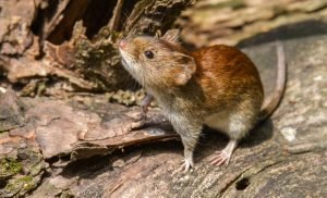 Warning: Dangerous Hantavirus spreads – how to protect yourself appropriately
