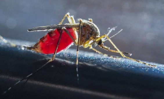 Mosquitoes transmitted for the first time Chikungunya Virus in Spain