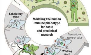 'Wildling' mice could help translate results in animal models to results in humans