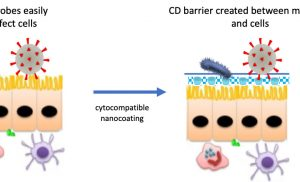 Researchers bioengineer first-line defense against COVID-19