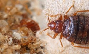 Bed bugs: The two major warning signs you may be dealing with an infestation