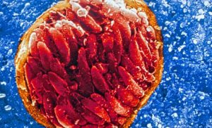 Novel drug could be a powerful weapon in the fight against malaria and toxoplasmosis