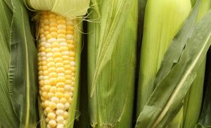 Why can't humans digest corn?