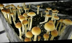 Oregon may become the first state to legalize 'magic' mushroom therapy on Election Day
