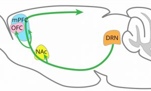 Scientists reveal regions of the brain where serotonin promotes patience