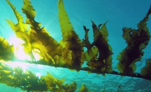 Seaweed extract found to have promising effects in brain cancer treatment
