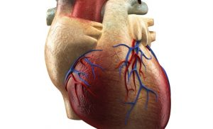 What is the Pericardium?