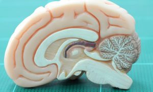 Newly developed maps show how human brains are kept nourished