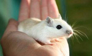 'The focea': A region of improved vision in mice