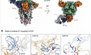 Cryo-EM structure of neutralizing antibody 5-7 in complex with SARS CoV-2 spike